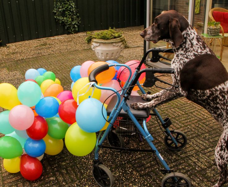 A #balloon a day - day 95 (#Tommy, #Germanshorthairedpointer)