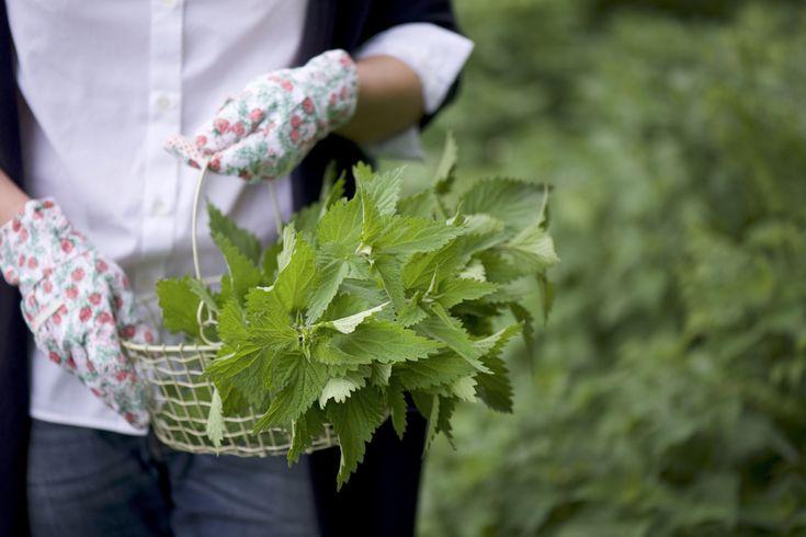 Ortica, un'erba che si può raccogliere andando per boschi (basta esser muniti di guanti) e con la quale gnocchi, frittate e risotti!
