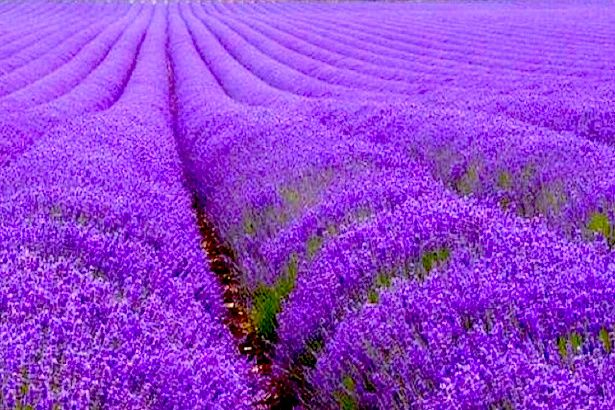 Blanco Lavender - Texas Hill CountryArt, Nature, Home And IdeasMore Pins Like This At FOSTERGINGER @ Pinterest✋