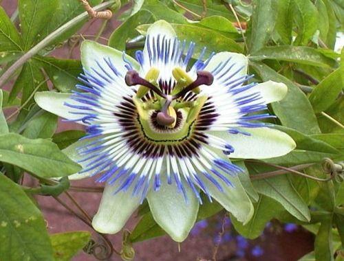 Το λουλούδι του πάθους είναι ένα τροπικό λουλούδι που προέρχεται από τη νότια Βραζιλία. Είναι πολύχρωμο με άρωμα μέντας, ανθεκτικό και αναπτύσσετε γρήγορα.