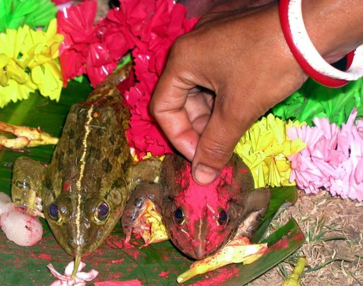 Frogs Marriage in Assam considered holy for Rains.