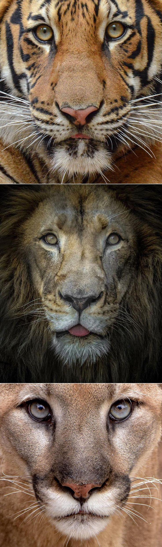Big cat close-ups by Scott Pollard