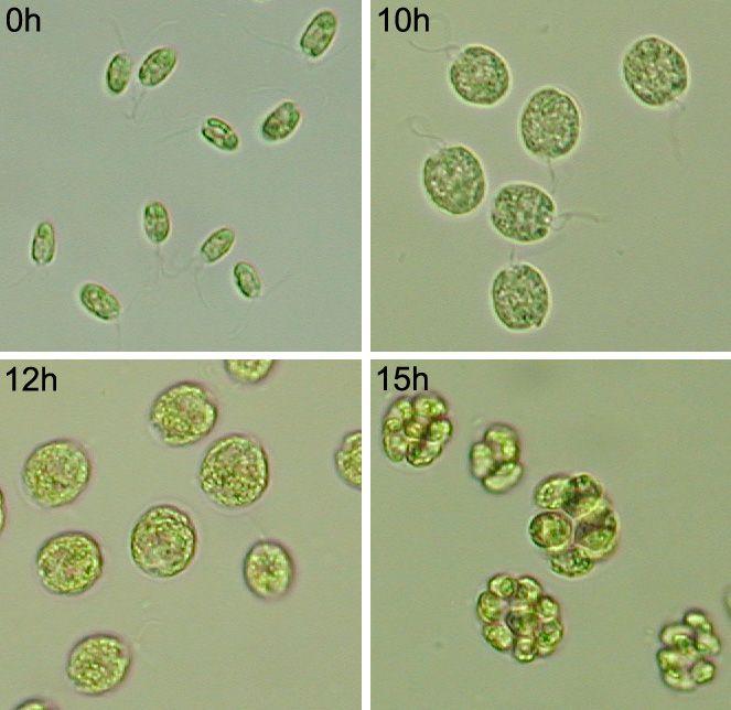 Molecular mechanisms of cell cycle regulation   Algatech