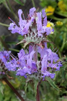 "I WANT!  Salvia carduacea ""Thistle Sage"" - Crazy cool and quick to bloom, this has got to be one of the wildest natives you can grow. Water to establish then let it go dry!Carduacea Thistles, Sage I Salvia, Plants Lists, Flower, Carduacea 8220 Thistles, 8220 Thistles Sage 8221"