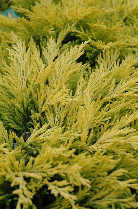 Pin By Chelsea Bass On Plant Wish List Evergreen Groundcover Evergreen Shrubs Evergreen Garden