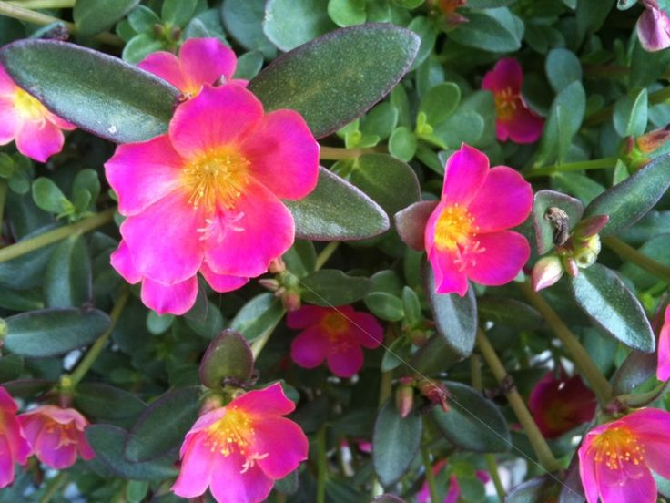 Purslane (portulaca oleracea): This is a succulent plant that grows best in full sun with little to moderate water.