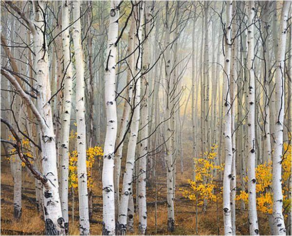 <b>birch trees</b> types of <b>birch trees</b> different <b>birch</b> <b>tree</b> species cherry ...