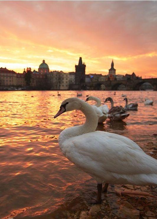 Swans on the Vltava River, Prague.