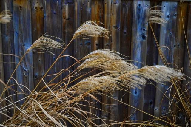 Toronto Gardens: Wind and snow on winter grasses – I love movement in the garden