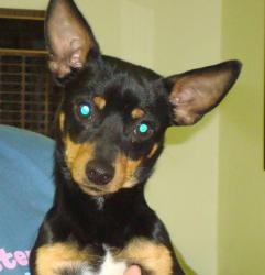 Freddie is an adoptable Manchester Terrier Dog in Moundsville, WV. Freddie, #66856, is a 2-year old Manchester Terrier.� He has a black and brown coat and brown eyes.� Freddie is a little fellow who i...