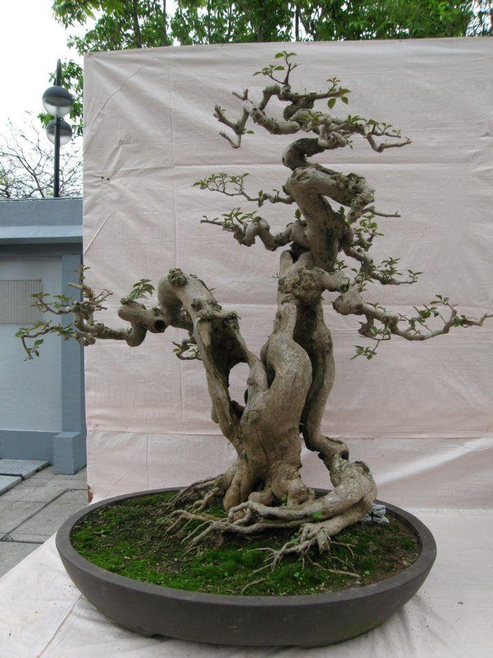 645 best images about bonsai on pinterest trees prunus for Famous bonsai trees