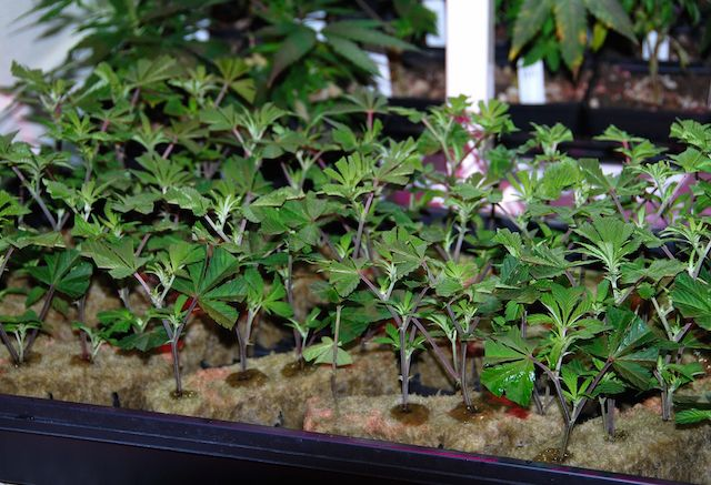 Cloning Made Easy  	Many growers remain mystified by cloning, finding it difficult to master the art of propagating many plants from one motherplant. Danny Danko explains the key factors that will allow any marijuana farmer to root cuttings over and over with ease.  	What is Cloning and Why Should I Bother?