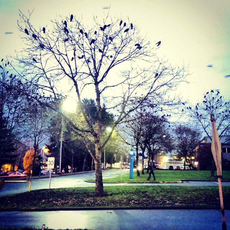 and so the crow season begins at BCIT Burnaby - #bcitsa #campus