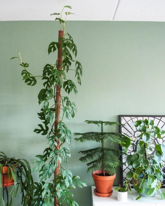 For sale is an unrooted cutting of RHAPHIDOPHORA TETRASPERMA with at least one leaf and one node, ready to propagate. I will select a fresh healthy cutting with one leaf, and one node, so the plant has enough energy remaining to form a root. Just leave the cutting in water, under indirect sunlight, Indoor Climbing Plants, Best Indoor Plants, Monstera Obliqua, Large Flower Pots, Plant Needs, Plant Care, Plant Decor, Potted Plants, Houseplants