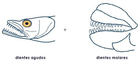Los dientes caninos son alargados y subcónicos, derechos o curvos y están adaptados para clavarse y sujetar. Los incisivos son los dientes que tienen los extremos cortados en bisel. Los dientes molariformes sirven para machacar y moler y, en consecuencia, son algo aplanados, a menudo con amplias superficies rellenas.