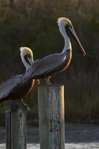 Brown Pelican Bird Sunning on Pilings in Aransas Bay, Texas, USA Photographic Print by Larry Ditto at Art.com