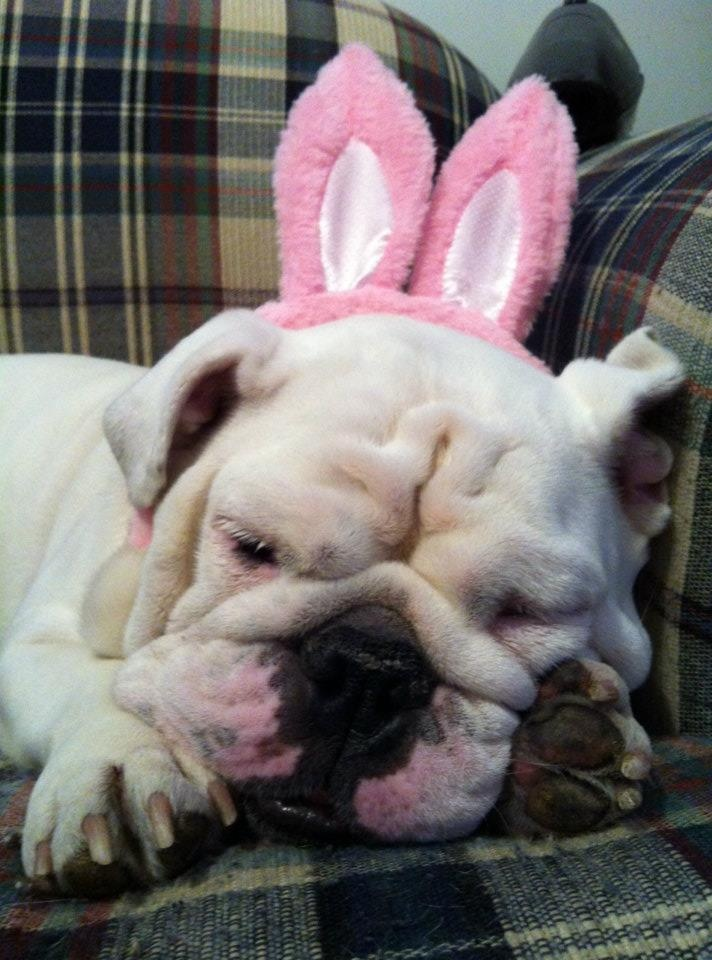 Mona the bulldog says happy Easter. Or whatever.