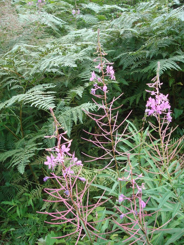 Fireweeds and Ferns