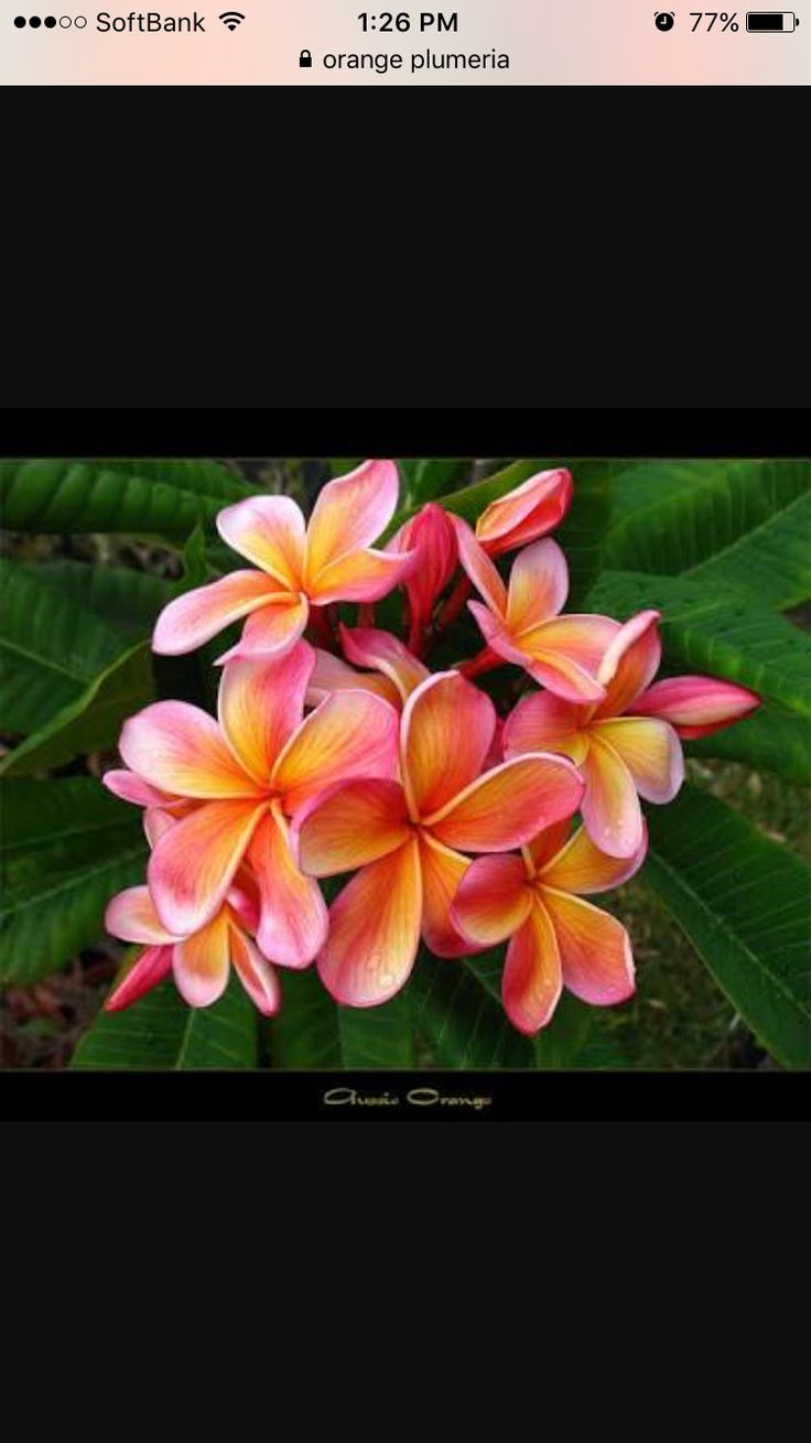 18 best beautiful flowers images on pinterest beautiful flowers you never know what color combinations you will get with plumerias they always seem to surprise you in the growing season here is the plumeria aussie dhlflorist Images