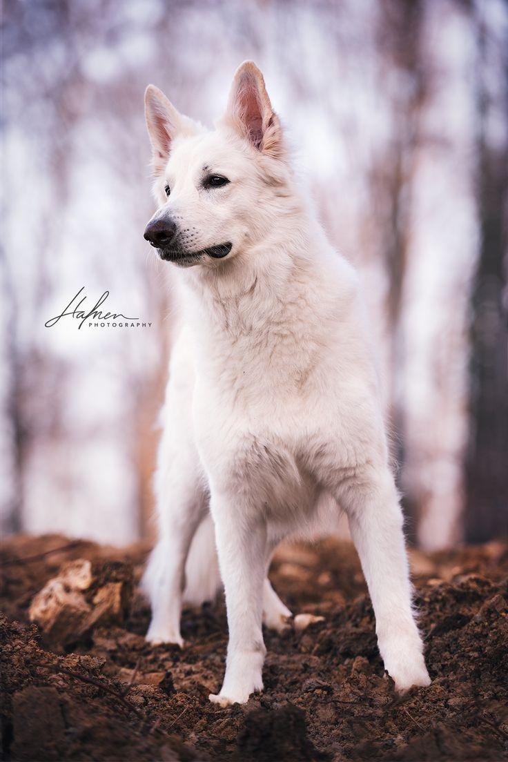 Schweizer Weisser Schaferhund Hund Bilder Foto Fotografie Fotoshooting Hundefoto Hundefotografie Hu Weisser Schaferhund Hunde Bilder Hunde Fotos