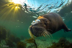A walrus in midnight sun. A walrus blows bubbles under a Norwegian midnight sun