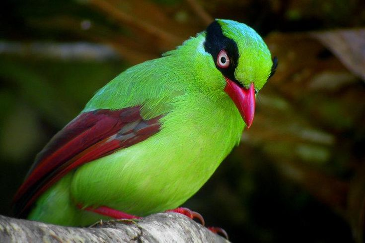 Short Tailed Green Magpie: God Creations, Javan Green, Shorts Tail Green, Color, Dark Eye, Beautiful Birds, Green Magpie, Animal, Feathers Friends