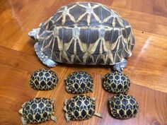♥ Pet Turtle ♥  turtle mamma and her babies