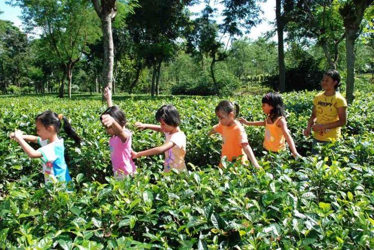 Agrowisata kebun teh Semugih, Pemalang, Jawa Tengah