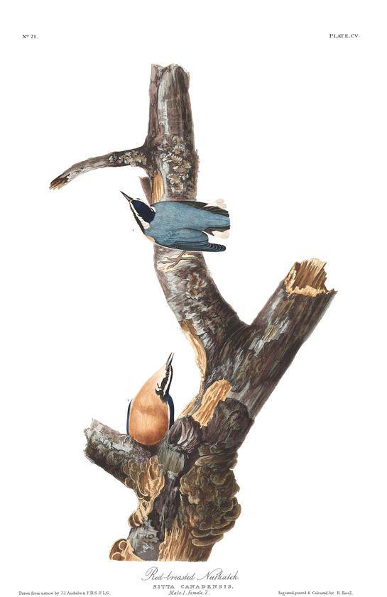 46 best audubons birds images on pinterest john james audubon red breasted nuthatch john james audubons birds of america fandeluxe Gallery