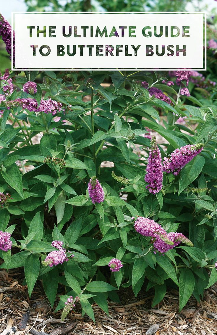 How To Grow Butterfly Bushes Butterfly Bush Grow Butterflies Outdoor Plants