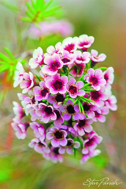 Pink Thryptomene #wildflowers #Australia #SteveParish