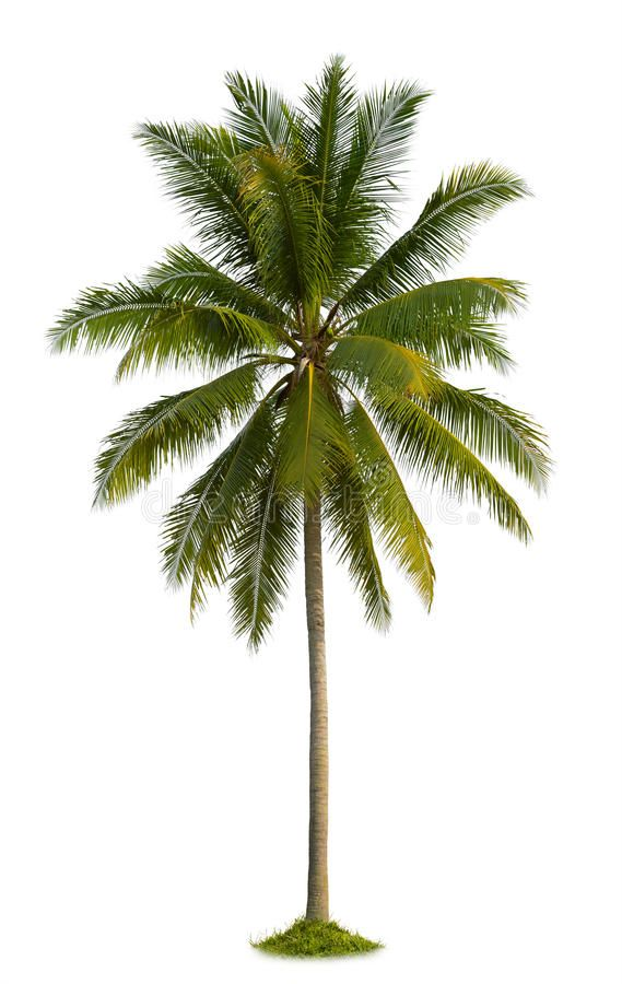 Coconut Tree Coconut Palm Tree Isolated On White Background Spon Palm Tree Coconut Background Whit Tree Photoshop Palm Tree Art Coconut Palm Tree