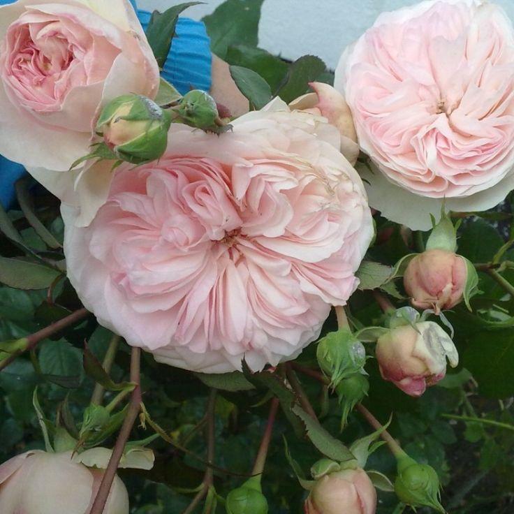 Розы Мария Тереза