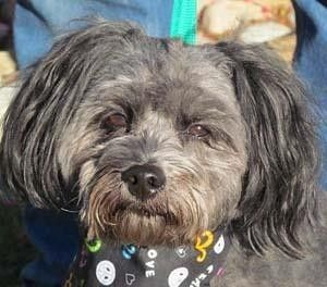 Check out Rascal's profile on AllPaws.com and help him get adopted! Rascal is an adorable Dog that needs a new home. https://www.allpaws.com/adopt-a-dog/poodle-miniature-mix-shih-tzu/4088062?social_ref=pinterest