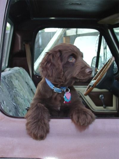 17 Best Images About Boykin Spaniel On Pinterest Poodles