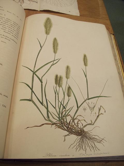 A Ferdinand Bauer print in the Flora Greca, in the Oxford University Herbarium
