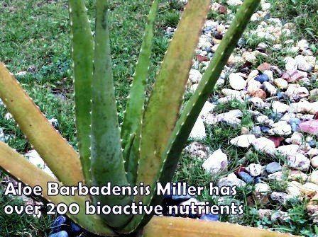 Aloe Barbadensis Miller has over 200 bioactive nutrients