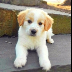 yellow lab collie mix