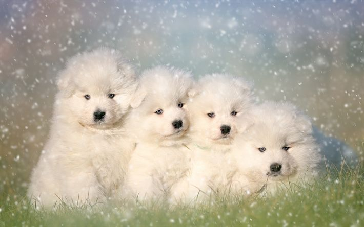 Samoyed dog, white fluffy puppies, cute animals, pets, dogs