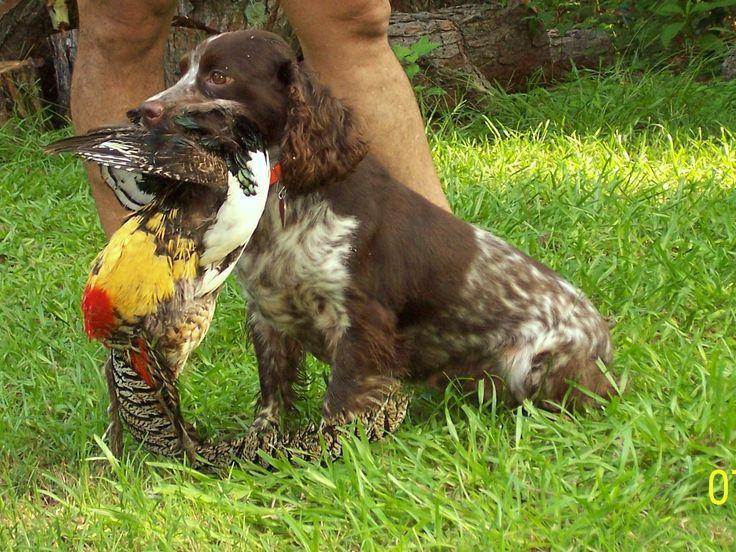 English cocker spaniels, field bred cockers, gun dogs