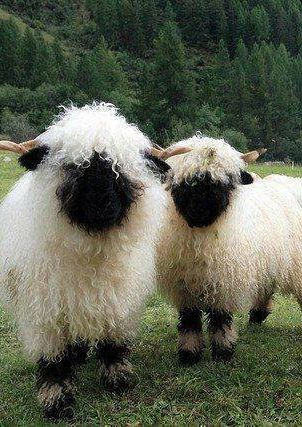 Valais Blacknose Sheep from Switzerland