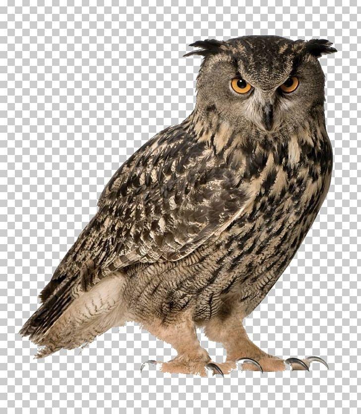 Eurasian Eagle Owl Snowy Owl Great Horned Owl Bird Png Animals Barn Owl Barred Owl Beak Bird Snowy Owl Eurasian Eagle Owl Great Horned Owl