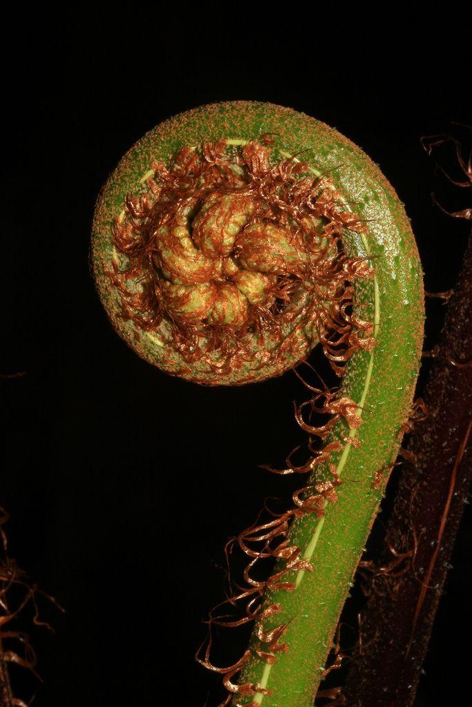 Cyathea sp. (latebrosa) | por Polylepis