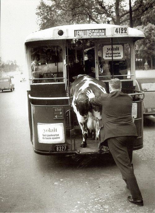 Henri Roger-Viollet   Homme poussant une vache dans un bus, Paris, 1950.
