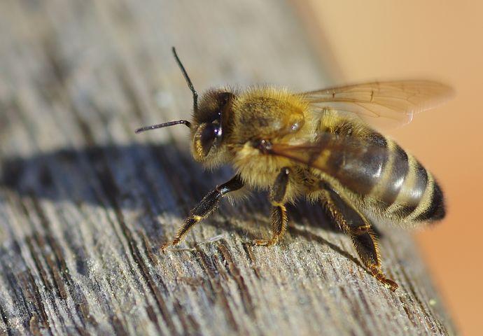 photo d'une abeille !!! #abeille #abeilles #miel #miels #butine #butiner #nature #insecte
