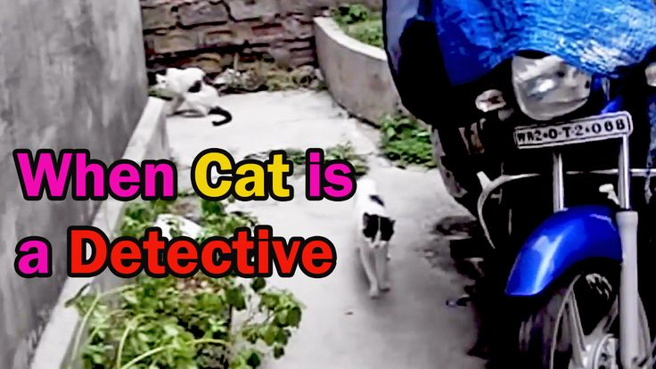 Detective Cat !! The cat name Majantali is now a private investigator following cat pamela. Majantali is very keen in her work. But unfortunately we didn't come to know the result of the investigation. https://www.youtube.com/watch?v=DgRIzFwtVr4