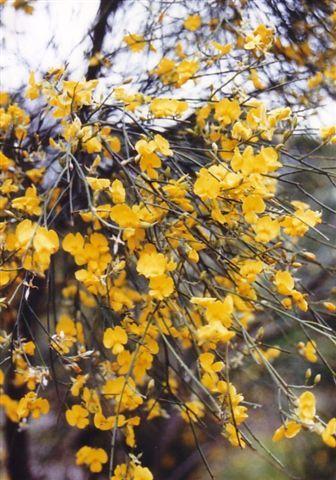 Jacksonia scoparia • Australian Native Plants • Plants • 800.701.6517