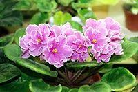 Saintpaulia ionantha 'Pink Amiss' African Violet - one of The Fern Mossery's 19 best terrarium plants.