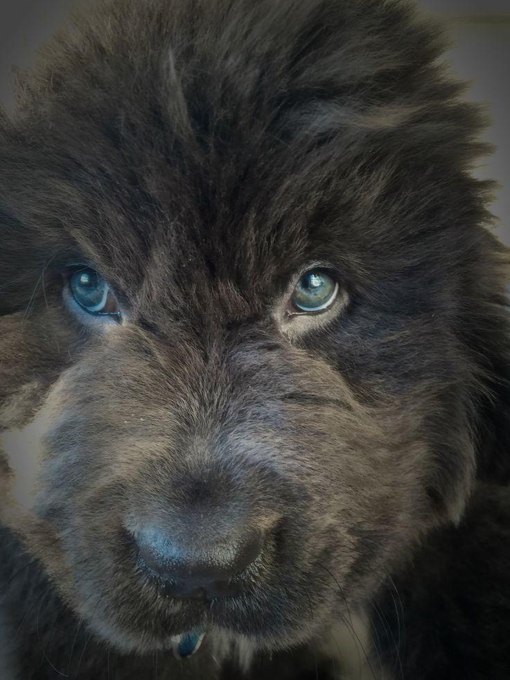9 1 2 Wks Old Gray Newfoundland Puppy Those Blue Green