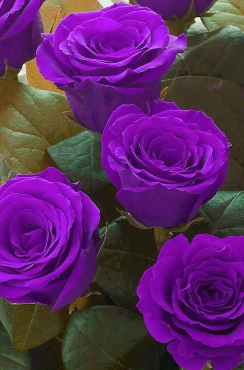 Purple roses make my heart sing!